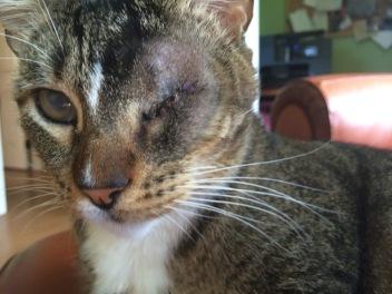 Scrappers the Hawaiian Cat