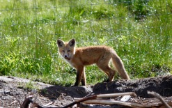 What a Fox, Montana