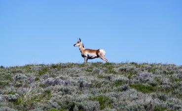 Montana Antilope