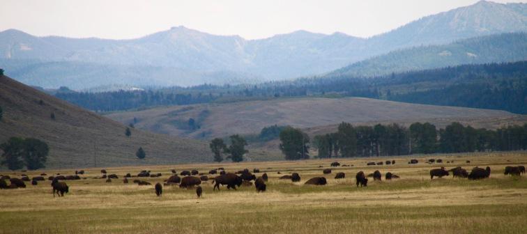 Roaming Buffalo, Montana
